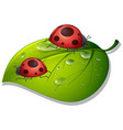two ladybugs on green leaf on white background vector image vector image