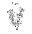 buchu agathosma betulina medicinal plant vector image vector image