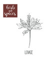 lovage hand drawing herbs and spices vector image