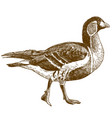 engraving of red-breasted goose vector image vector image