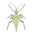 Heteropteryx insect sketch for your design vector image