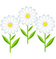 flower chamomile isolated vector image