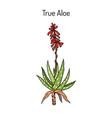 aloe vera medicinal plant