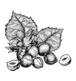 hazelnuts nuts and leaves hand drawn sketches vector image vector image