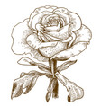 engraving of rose flower vector image vector image