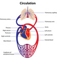 schematic representation of the human circulatory vector image vector image