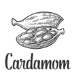 Cardamom spice with seed black vintage vector image vector image