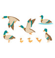 wild ducks young swimming birds water pond little vector image
