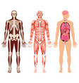 human organ skeleton and muscular system vector image