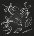 hand drawn mint leaves peppermint set on vector image vector image