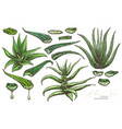aloe vera leafe and slices vector image vector image