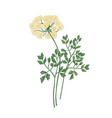 galbanum flowers isolated on white background vector image
