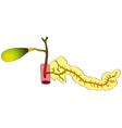 human digestive organs the pancreas gallbladder du vector image vector image