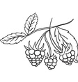 black and white blackberry vector image