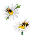 honey bees sitting on daisy flowers