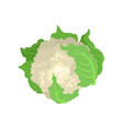 cauliflower with bright green leaves natural and vector image vector image