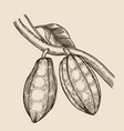 cocoa beans vector image vector image