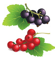 Clasters of black and red currants vector image