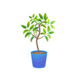plant growing lemon tree in pot vector image