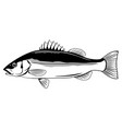 sea bass fish vector image vector image