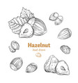 hazelnuts hand-drawn vector image