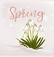 flowers snowdrops from the snow vector image