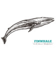 hand drawn finwhale vector image vector image