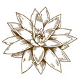 engraving of succulent echeveria vector image vector image