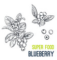blueberry super food hand drawn sketch vector image