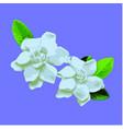 gardenia vector image vector image
