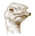 engraving of ostrich head vector image vector image