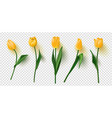 realistic tulips set on transparent vector image vector image