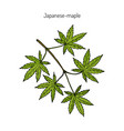 japanese-maple vector image vector image