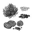 hand drawn set of pine nuts and cones vintage vector image vector image