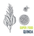 Quinoa super food hand drawn sketch
