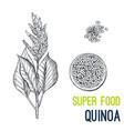 quinoa super food hand drawn sketch vector image