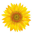 sunflower petals vector image