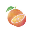 watercolor orange fruit with leaf on white vector image vector image