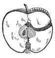worm in apple vintage vector image vector image