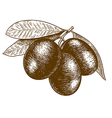 engraving olives vector image vector image