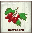 Hand drawing of hawthorn Fresh vector image vector image