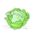 green liner cabbage vector image