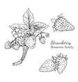 Ink strawberry hand drawn sketch vector image
