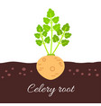 celery root icon with title vector image