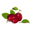three realistic plums on a white background vector image vector image