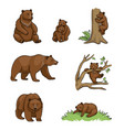 brown bears vector image
