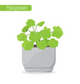 pelargonium geranium house plant decorative vector image vector image