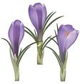 Crocus flower vector image vector image