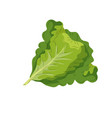 fresh lettuce natural vegetable nutrition vector image vector image