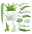 aloe vera plant sketches herb leaf nature flora vector image